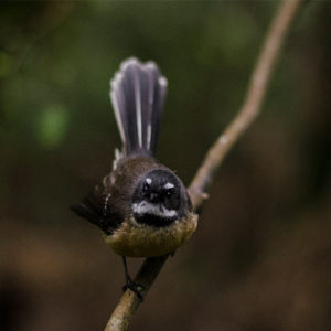 c99bf69ac50 Click here to listen to a North Island fantail