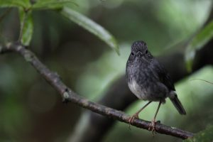 North-island-robin